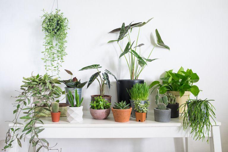 plante d'intérieur en pleine santé
