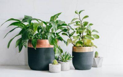 Pourquoi les feuilles de mes plantes vertes jaunissent ?