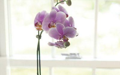 Comment faire refleurir une orchidée en 4 étapes