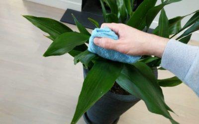 Solutions rapides pour nettoyer les feuilles des plantes vertes