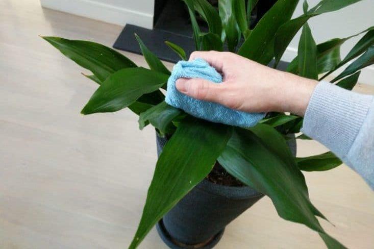 nettoyer les feuilles plantes vertes